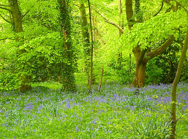 19 Bluebell carpet