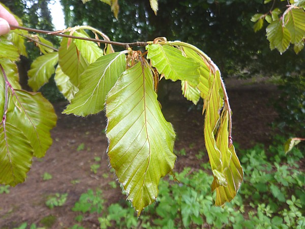 19 Bluebell copper beech leaves