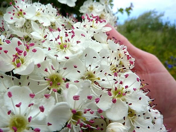 20 Leasowe may blossom