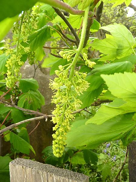 20 Leasower Sycamore flower