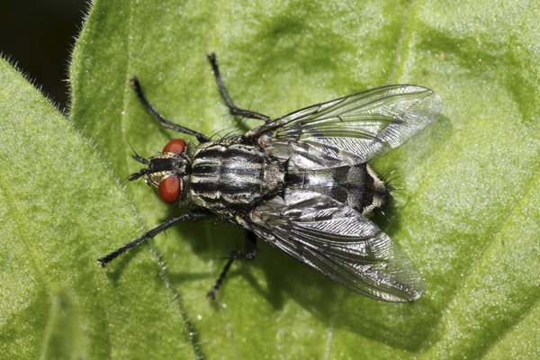 MNA Manifold Valley Flesh Fly1