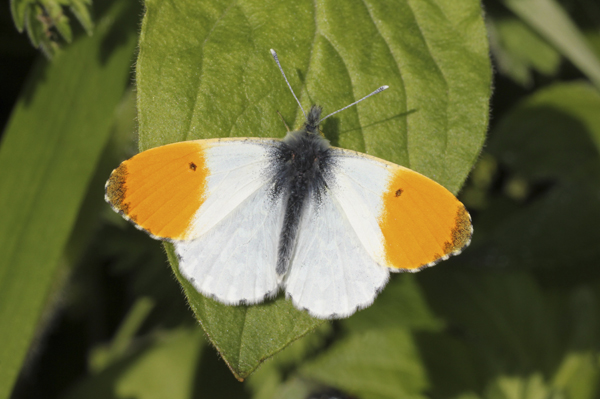 MNA Manifold Valley Orange Tip1