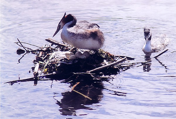 201505 Grebe and eggs