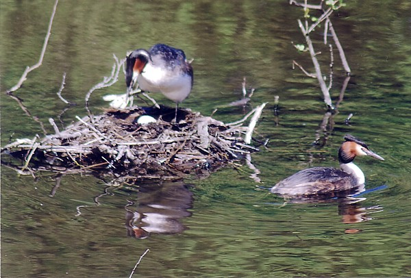 201505 Grebes and nest