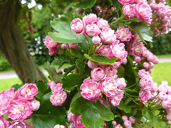 21 TPT8 Pink Hawthorn