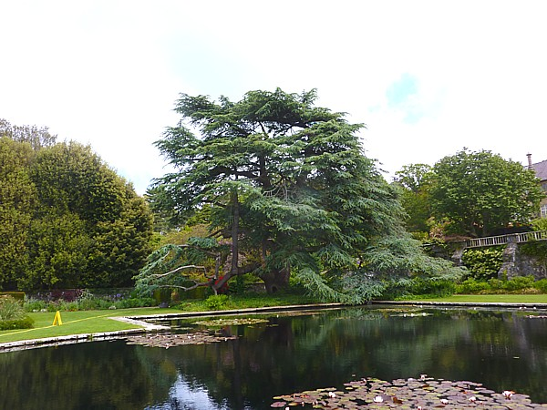 23 Bodnant Blue Atlas Cedar