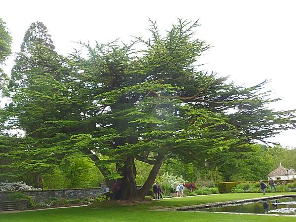 23 Bodnant Cedar of Lebanon