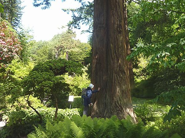 23 Bodnant Champion California Redwood