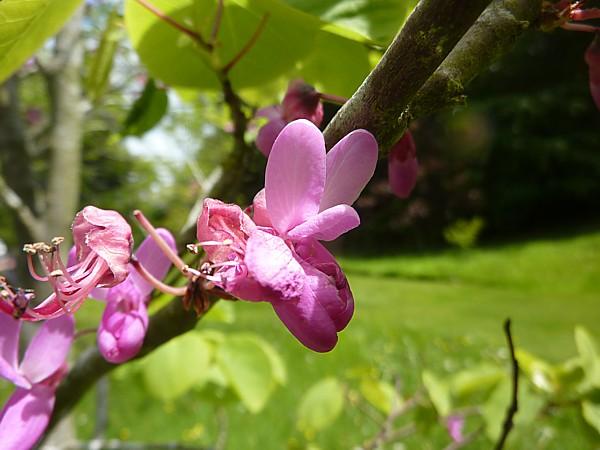 23 Bodnant Judas Tree flower