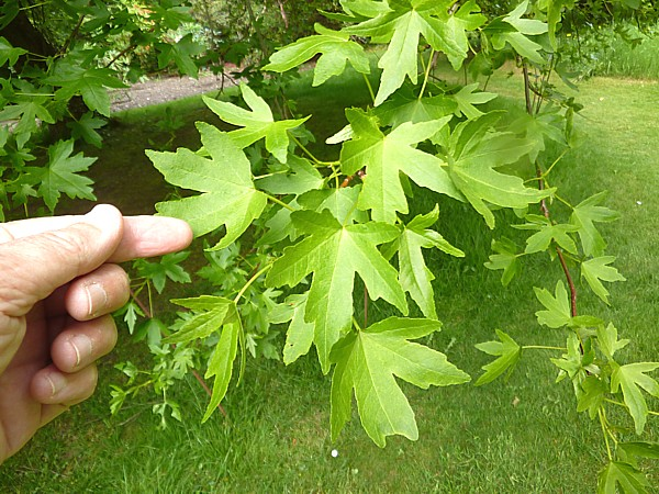 23 Bodnant Oriental Sweet Gum foliage