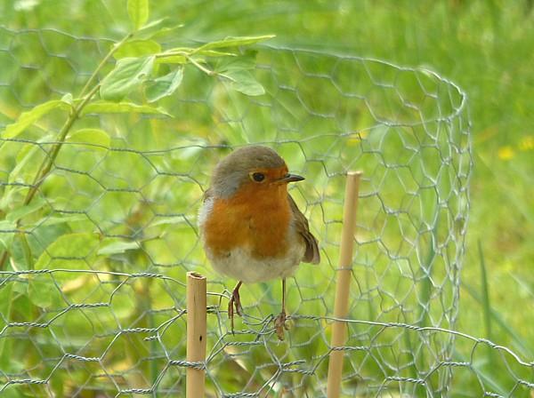 23 Bodnant Robin