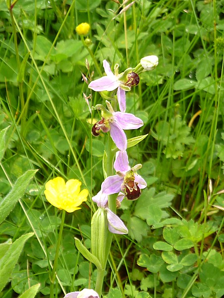 25 Kirkby bee orchid