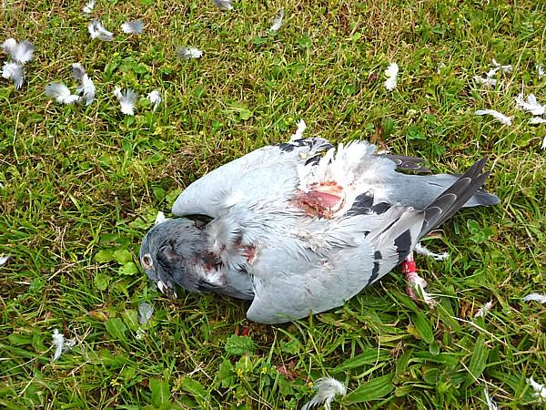 25 Kirkby dead pigeon
