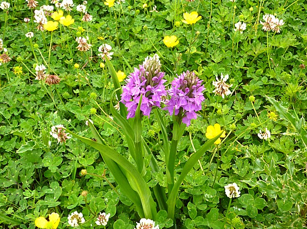 25 Kirkby orchids
