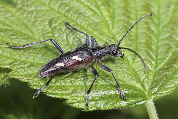MNA Aber Falls Longhorn Beetle1