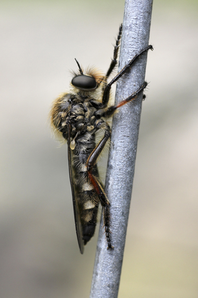 MNA Aber Falls Robber Fly1