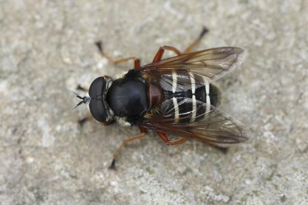 MNA Coed Llangwyfan Hoverfly1