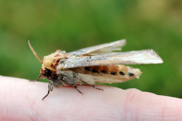 MNA Conwy Moth2