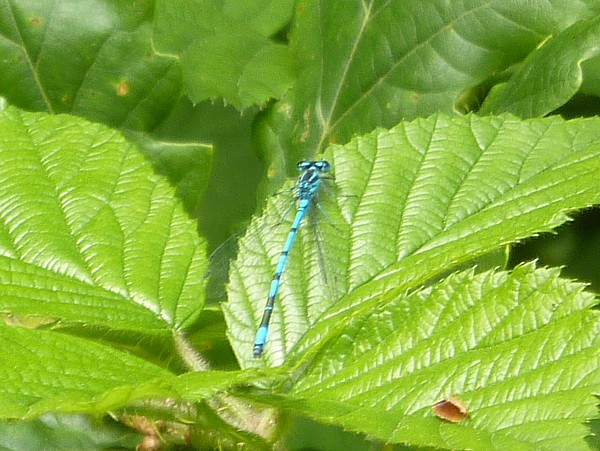 26 Gorse Hill damselfly