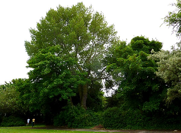27 Crosby Black Poplar