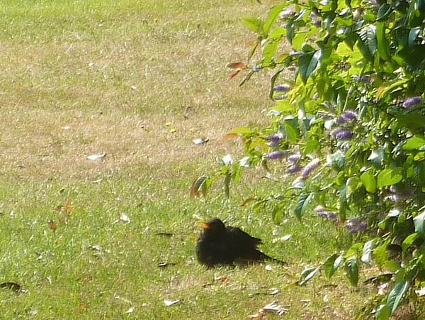 27 Crosby Blackbird basking