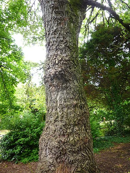 27 Crosby Poplar trunk