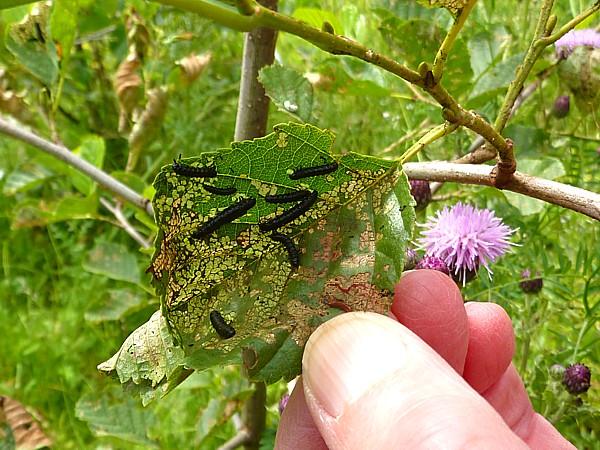 28 Dream Alder beetle larvae