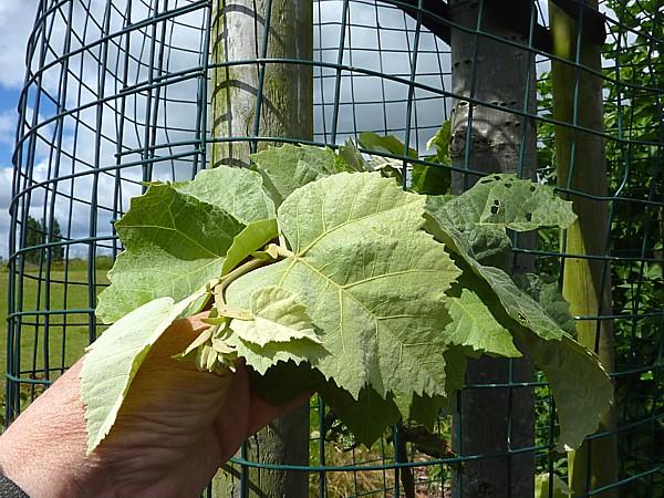 28 Dream big leaves