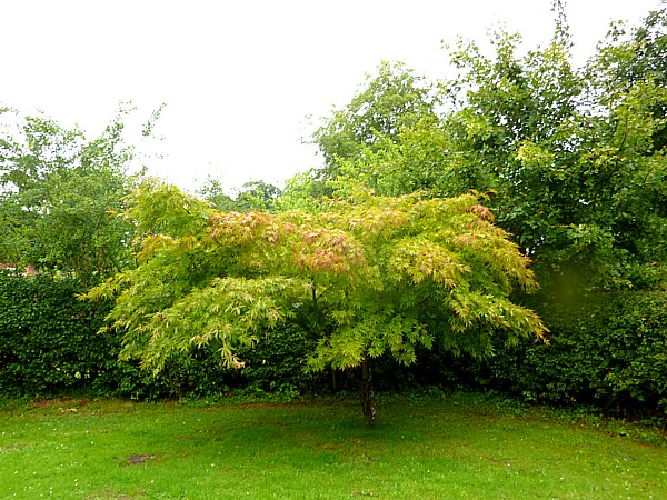 29 Royden autumnal maple