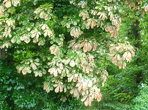 29 Royden horse chestnut leaved mined
