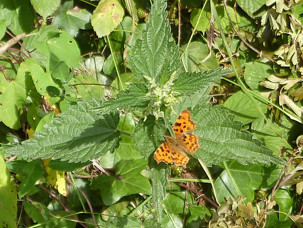 30 Wirral Comma