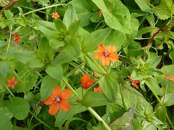 30 Wirral Scarlet pimpernel