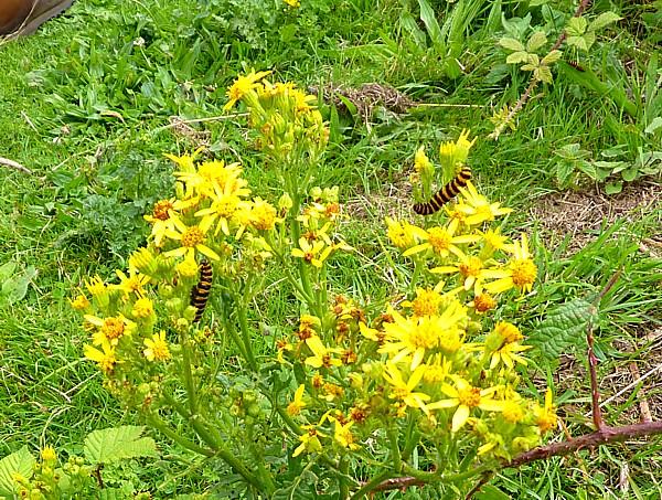 30 Wirral ragwort caterpillars