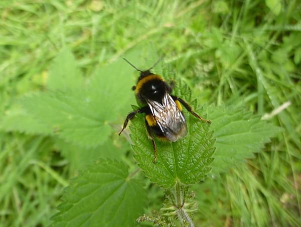 31 TPT9 Bumble bee
