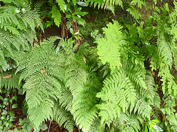 31 TPT9 Royal and Male Ferns