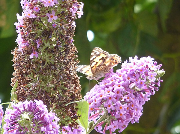 32 Ainsdale Painted Lady