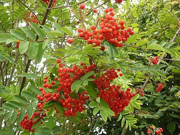 32 Ainsdale Rowan berries