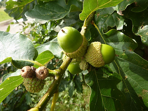 32 Ainsdale Sessile acorns
