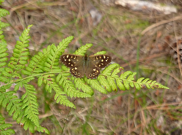 32 Ainsdale Speckled Wood