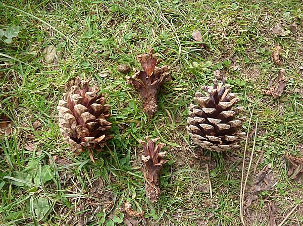 32 Ainsdale pine cones