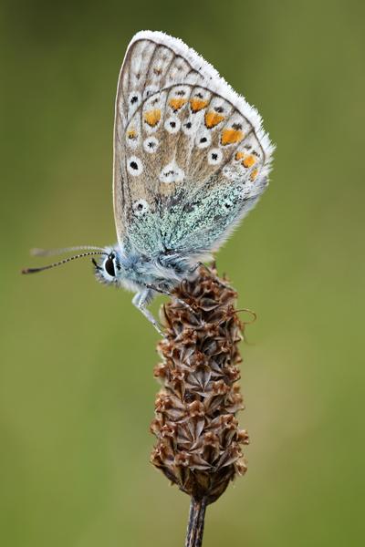MNA Smardale Common Blue1