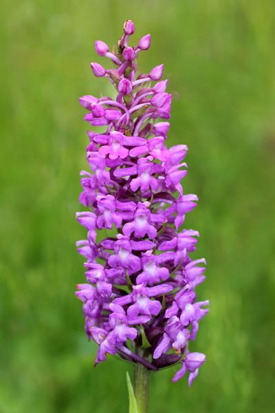 MNA Smardale Gill Fragrant Orchid1