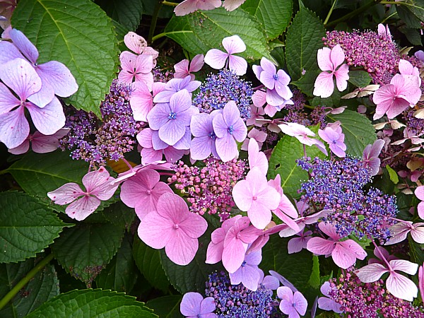 33 Botanic Hydrangea