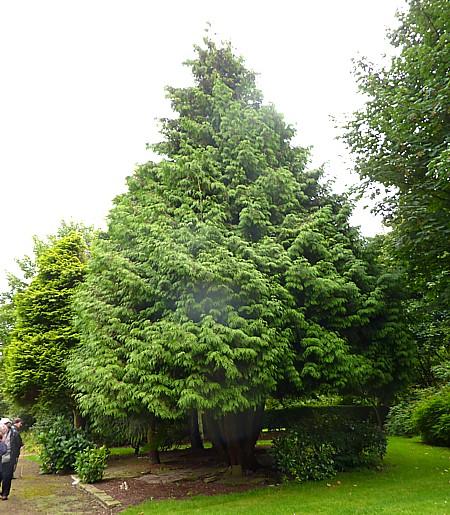 33 Botanic W Red Cedar
