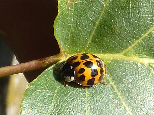 34 Princes ladybird