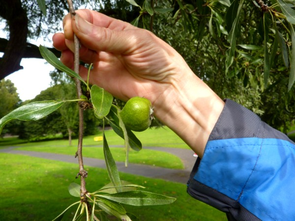 34 Princes willow-leafed pear fruit