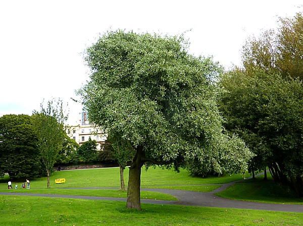 34 Princes willow leafed pear