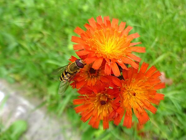35 Bidston Hoverfly
