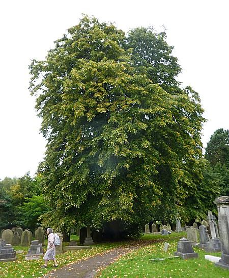 35 Bidston Lime tree