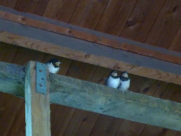 35 Bidston Swallows